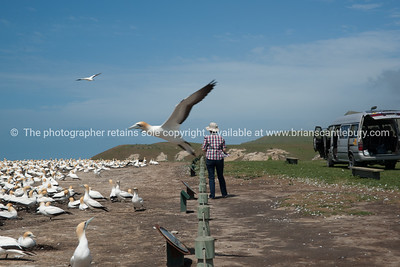 So close, gannet in motion, flys by tourist birdwatcher.