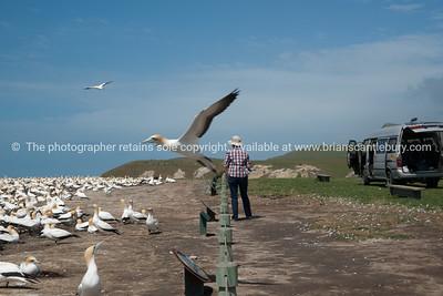 So close, gannet in motion, flys by tourist birdwatcher.