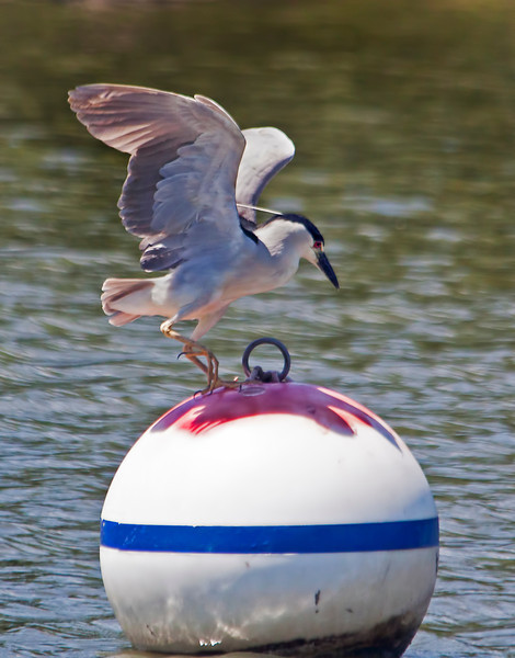 This black-capped night heron was fishing from this buoy. Clever, huh?