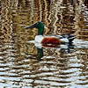 Northern Shoveler - Dawson Creek, BC