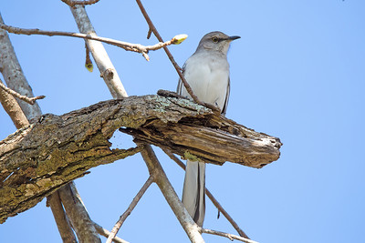 Northern Mockingbird - These slender-bodied gray birds apparently pour all their color into their personalities. They sing almost endlessly, even sometimes at night, and they flagrantly harass birds that intrude on their territories.