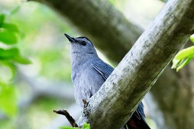 Gray Catbird - Dumetella carolinensis.