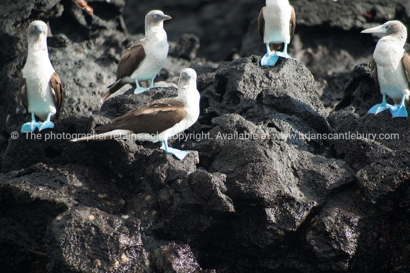 Blue footed booby, iconic Galapagos bird.