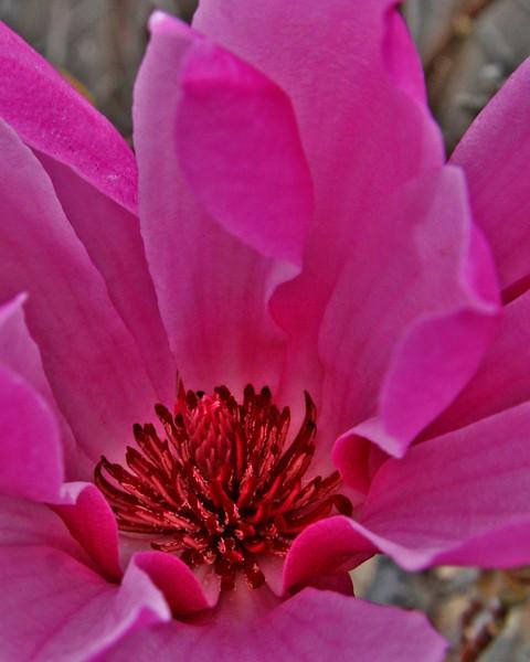 Sugar Magnolia-A blooming magnolia bush
