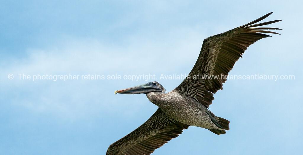 Brown Pelican overhead.