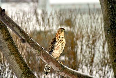 Illinois Hawk