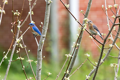 Bluebird - Male and Female in Maple tree.