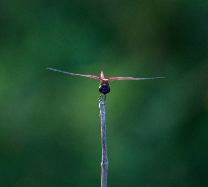 "Check out this dragon fly's horizontal bright blue mouth. It looks more like an robot than something natural. It kept checking me out as if it were ""scanning"". I guess I've watched too many sci-fi movies."