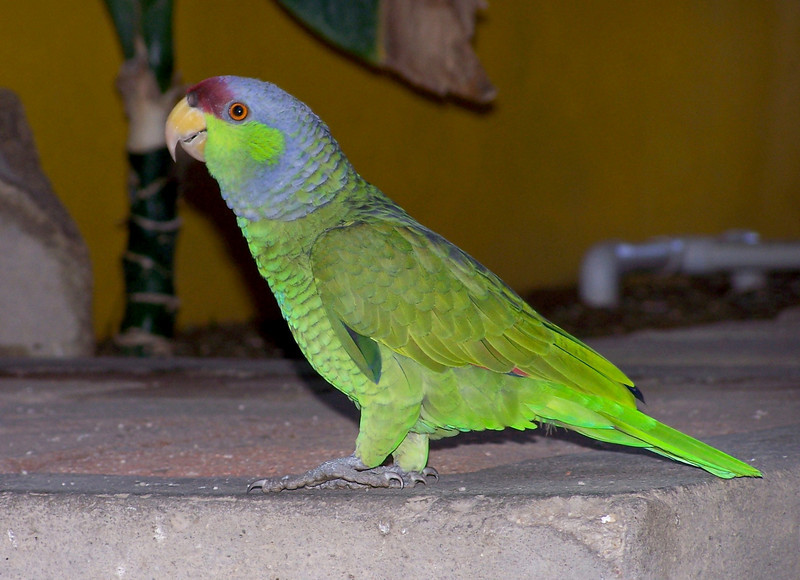 Canure Parrot