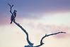 Osprey at sundown, Green Cay Wetlands, Palm Beach County