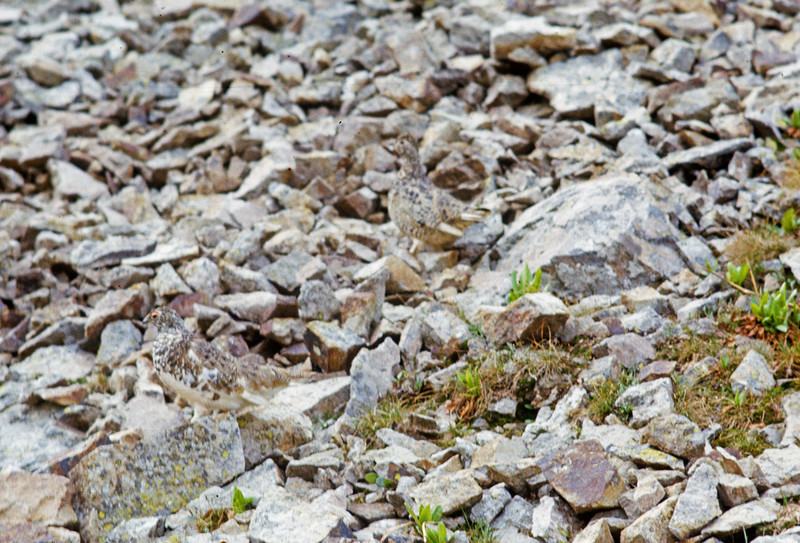 Ptarmigan in the rocks
