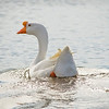 White Goose Swimming