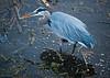 Great Blue on the hunt at Wakodahatchee Wetlands