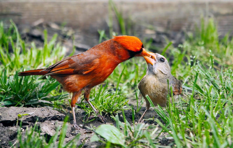 We definitely had a late spring this year. I observed this pair of cardinals last week. I guess you could say this is the human equivalent of being taken out for dinner.
