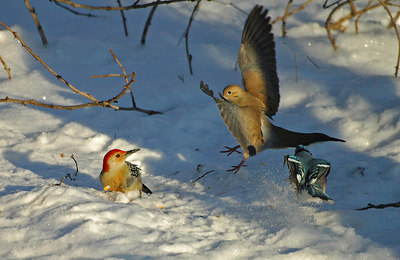 Mourning Dove, Red-Bellied Woodpecker, and Blue Jay