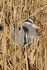Test shot trying to focus on his eye through the maze of stalks.<br /> <br /> Great Blue Heron at Richmond North Dike.  He's about 80 feet away.