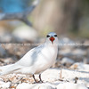 Beautiful black naped tern