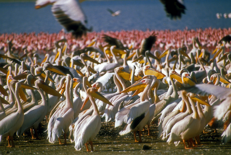 White Pelicans surrounded by Flamingos