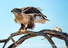 Ferruginous hawk, the larges hawk.  Best viewed in the largest sizes