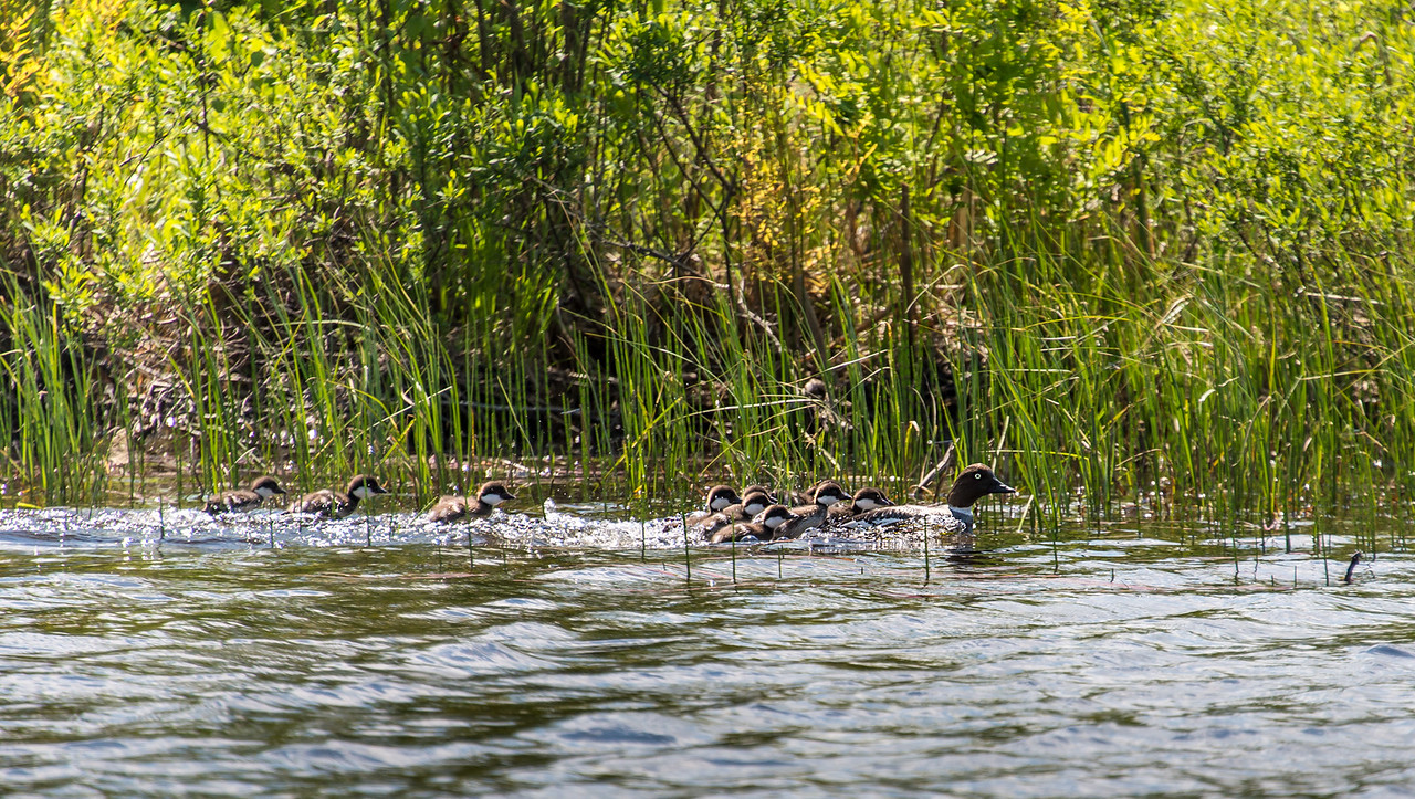 Chicks struggling to keep up with mother - Grand Lake Stream, Maine - June 2015