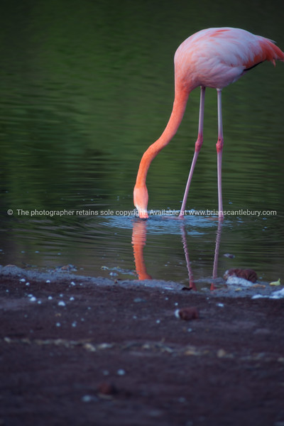Pretty pink flamingo, feeding in calm water in Galapagos Islands.
