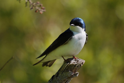 tree swallow.  Jamaica Bay, NY
