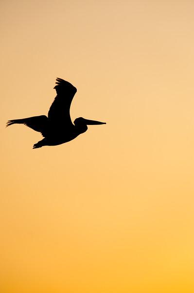 Pelican Twilight flight