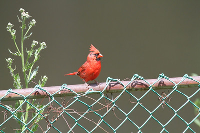 A Male Northern Cardinal perched on a fence railing