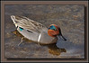 "Green Winged Teal male @ Burnaby Lake (w/ Sigma 50-500 ""Bigma"")<br /> Shot to showcase feathers on back."
