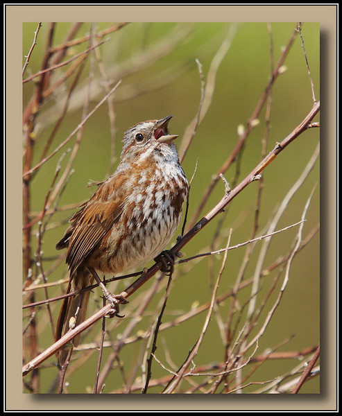 """Ahhhhhhh....""<br /> <br /> Song Sparrow at  Burnaby Lake."