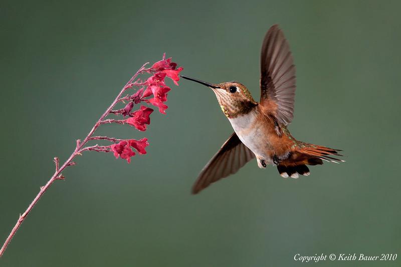 Male Rufous Hummingbird #2