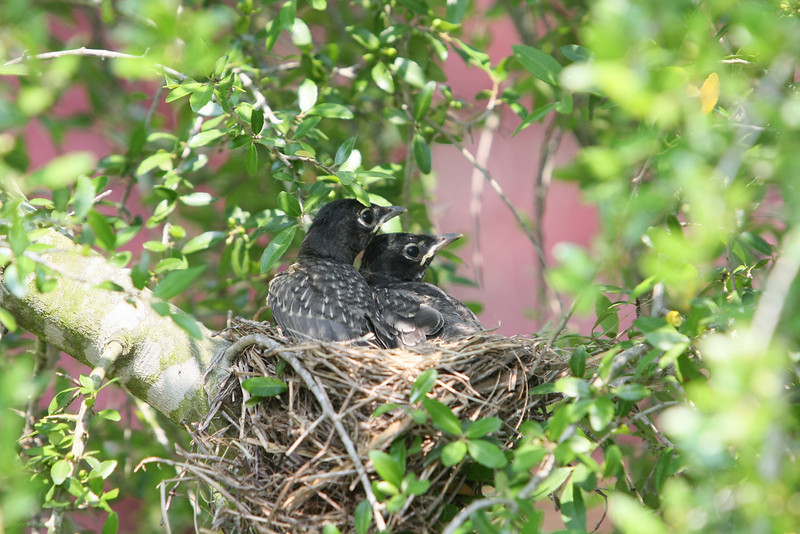 Bab Robins almost ready to leave nest.