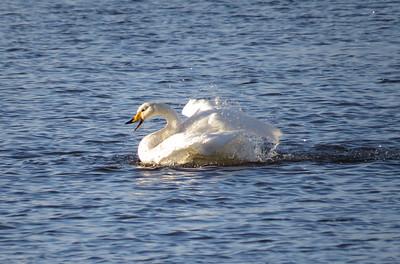 Whooper swan, Loch Leven