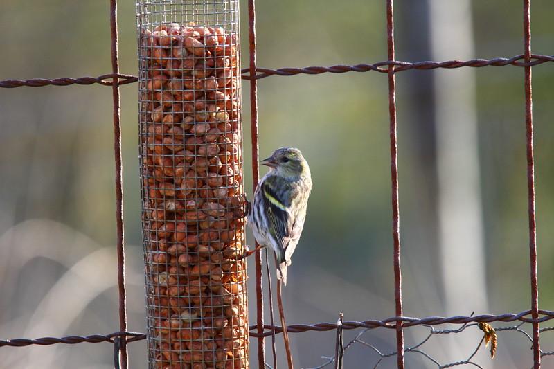 IMAGE: http://buttonmasher.smugmug.com/Animals/Birds/i-J4LCG4F/0/L/IMG_9761-L.jpg