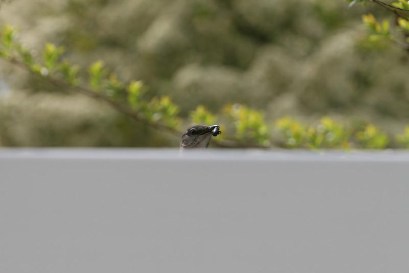 Momma Mockingbird arriving with bug.