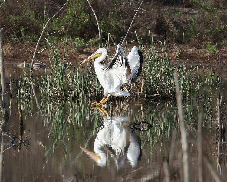 White Pelican landing in Lake Hodges