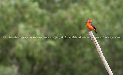Vermillion flycatcher in Ecuador