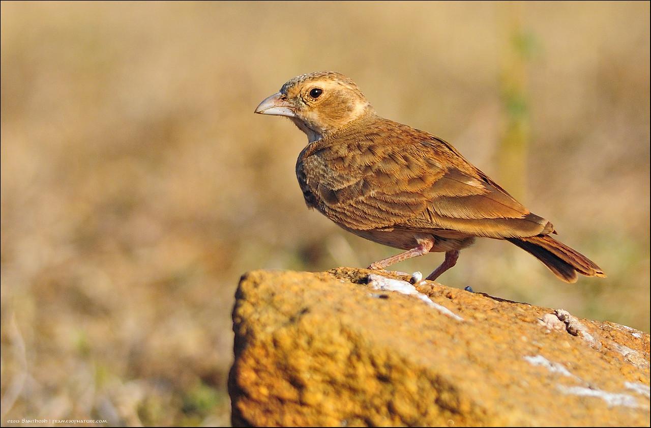 Ashy crowned sparrow Lark (female)