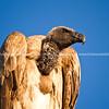 Vulture portrait.