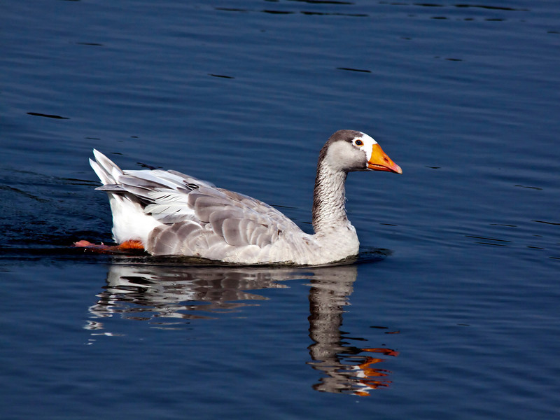 Canadian goose_IMG_9131_6841