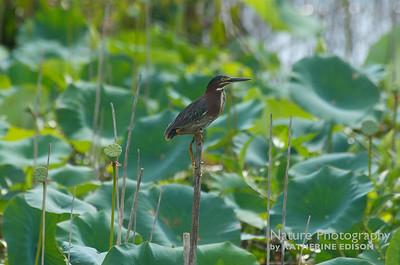 Perching Green Heron