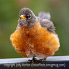 Unusually Fluffy Robin