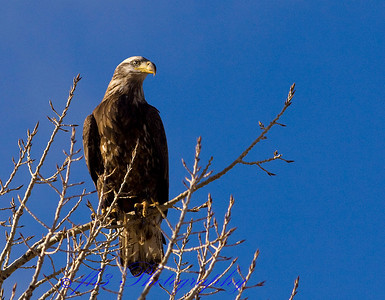 immature bald eagle. Cherry Creek