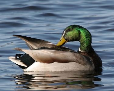 Mallard Duck - Michigan by Paw Prints Nature & Wildlife Photography