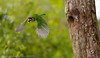 Fire Tufted Barbet leaving nest