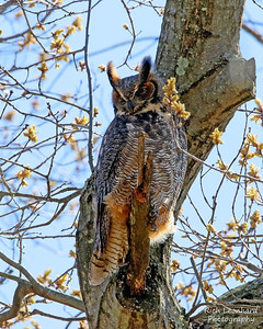Great Horned Owl on Long Island, NY.