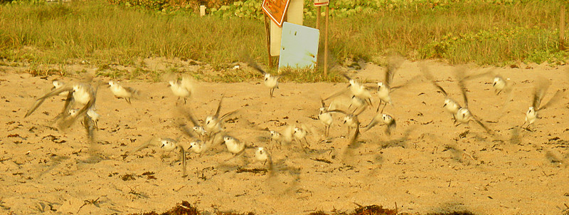 Sanderlings scatter at sunrise, Delray Beach, FL