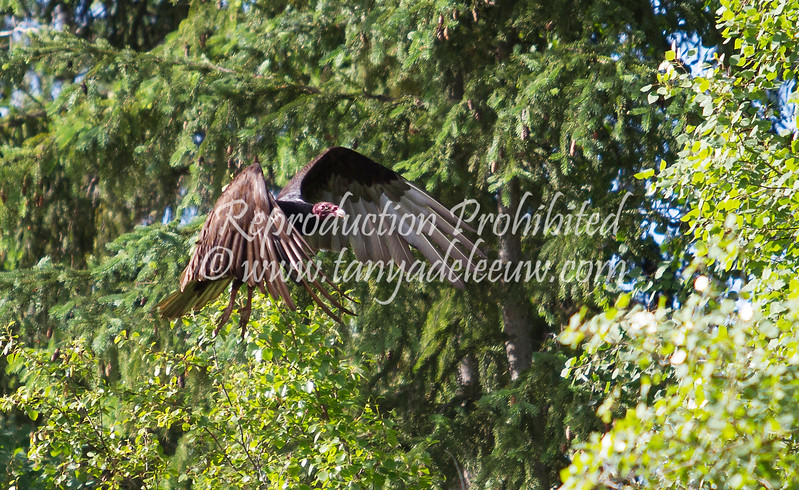 Turkey vulture. Windermere, July 2012