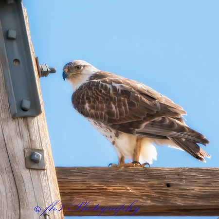 hawk on pole on 112th and E470