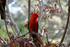 King parrot (Alisterus scapularis), male.